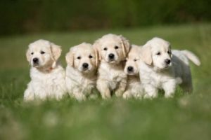 how old should puppies be before they leave their mother
